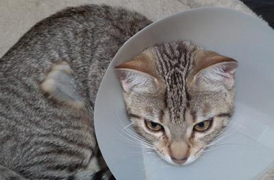 Image chatte stérilisée